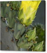 Yellow Prickly Pear Cactus Bloom Canvas Print