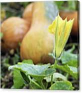 Yellow Pumpkin Flower Closeup Garden Autumn Season Canvas Print