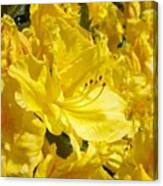 Yellow Rhodies Floral Brilliant Sunny Rhododendrons Baslee Troutman Canvas Print
