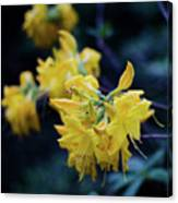 Yellow Rhododendron Flower Canvas Print