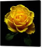 Yellow Rose 4 Canvas Print