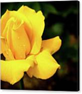Yellow Rose - After The Rain Canvas Print