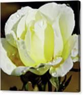 Yellow Rose Dew Drops Canvas Print
