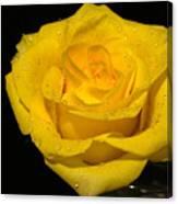 Yellow Rose  - Friendship,joy,good Health Canvas Print