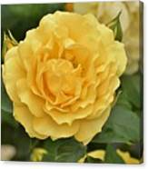 Yellow Rose IIi Canvas Print