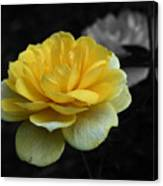 Yellow Rose In Bloom Canvas Print