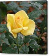 Yellow Rose In The Rain Canvas Print