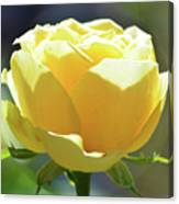 Yellow Rose In The Sun Canvas Print