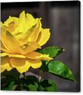Yellow Rose Of Los Gatos Canvas Print