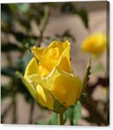 Yellow Rose With Ants Canvas Print