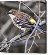Yellow-rumped Warber In Fall Colors Canvas Print