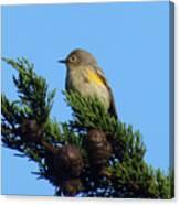 Yellow-rumped Warbler On Cedar Bough Canvas Print