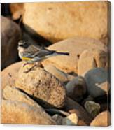 Yellow Rumped Warbler On River Rocks Canvas Print