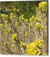 Yellow Sage Flower Canvas Print