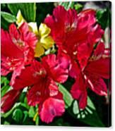 Yellow Sorrel Peeking Out Through Red Azaleas At Pilgrim Place In Claremont-california  Canvas Print