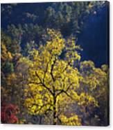 Yellow Tree In Sunlight Canvas Print