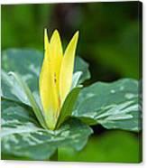 Yellow Trillium Flower Trillium Luteum Canvas Print