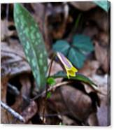 Yellow Trout Lily 2 Canvas Print