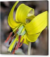 Yellow Trout Lily Canvas Print