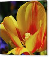 Yellow Tulip Blossom Streaked  With Red In The Spring Canvas Print