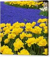 Yellow Tulips And Blue Muscari In Dutch Garden Canvas Print