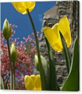 Yellow Tulips By Stone Church Canvas Print
