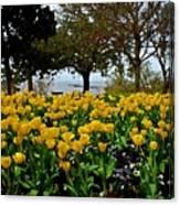 Yellow Tulips Of Fairhope Alabama Canvas Print