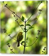 Yellow Warbler In A Tree 2 Canvas Print