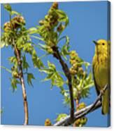 Yellow Warbler Canvas Print