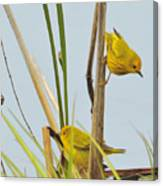 Yellow Warblers Canvas Print