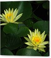 Yellow Water Lilies Canvas Print