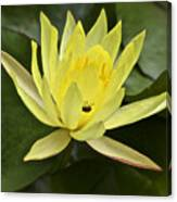 Yellow Waterlily With A Visiting Insect Canvas Print