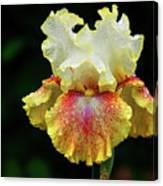 Yellow White And Burgundy Iris Canvas Print