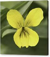 Yellow Wild Violet Canvas Print