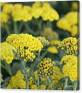 Yellow Yarrow Canvas Print
