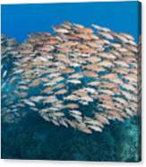 Yellowfin Goatfish Canvas Print