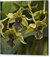 Yellowish Orchids Canvas Print