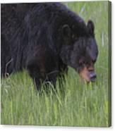 Yellowstone Black Bear Grazing Canvas Print