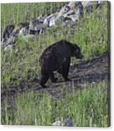 Yellowstone Black Bear Canvas Print