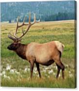 Yellowstone Elk Canvas Print