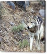 Yellowstone Grey Wolf Canvas Print
