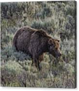 Yellowstone Grizzly Canvas Print