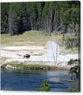 Yellowstone Park Bison In August Canvas Print
