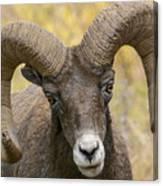 Yellowstone Ram Canvas Print