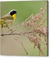 Yellowthroat Warbler Canvas Print