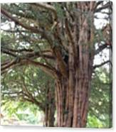 Yew Tree Entrance Canvas Print