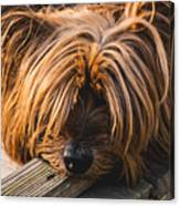 Yorkshire Terrier Biting Wood Canvas Print