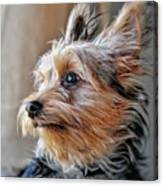 Yorkshire Terrier Dog Pose #2 Canvas Print