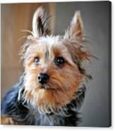 Yorkshire Terrier Dog Pose #3 Canvas Print