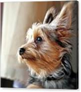 Yorkshire Terrier Dog Pose #5 Canvas Print